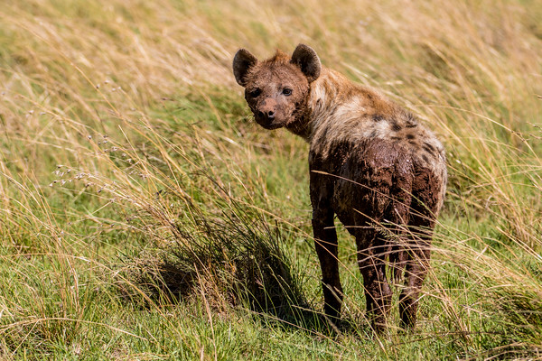 Spotted hyena.  Masai Mara safari with Mel, Lily and Chelsey.  Mara Engai Tented camp in The Mara Triangle.  October 30 to November 2nd, 2017.  Photo by: Stephen Hindley ©