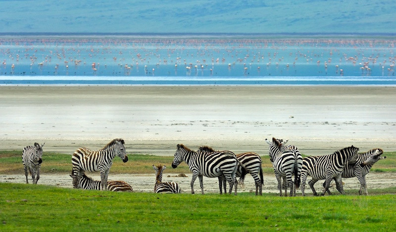 Zebras at the beach