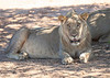 Kalahari lion, Tswalu, South Africa.