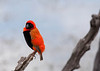 Red Bishop -- Pilanesburg, South Africa