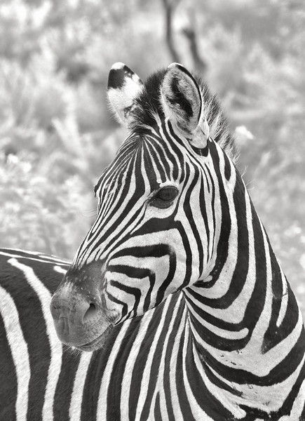 Zebra -- Pilanesburg, South Africa