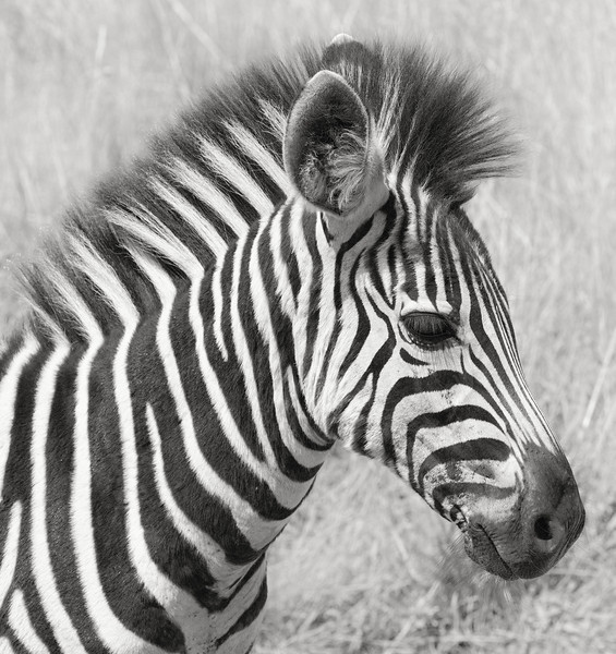 Young Zebra - Pilanesburg, South Africa