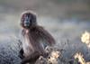 Gelada baboon, Guassa, Ethiopia