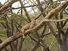 Young lion, lake Nakuru, Kenya.