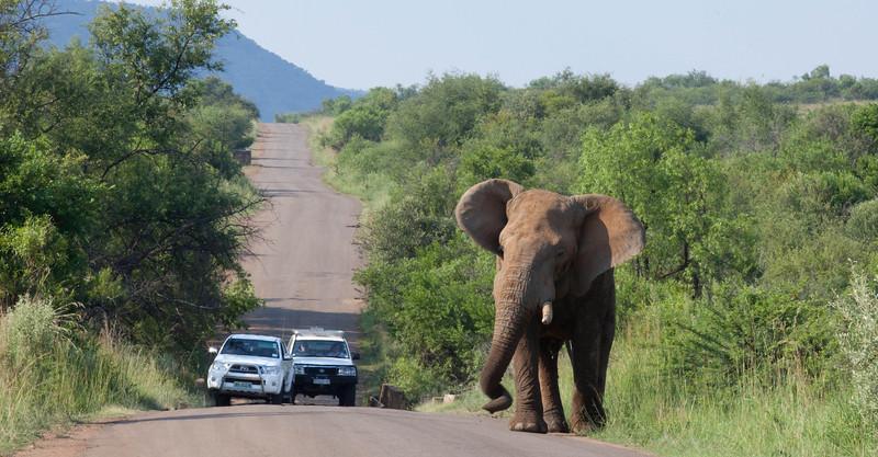 Bull Elephant crossing - Pilanesburg, South Africa