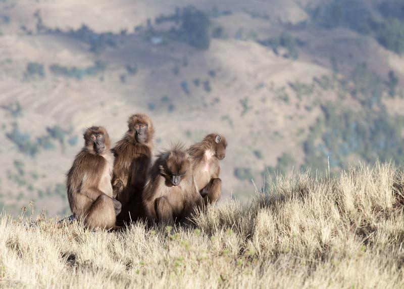 Gelada baboons. Guassa, Ethiopia