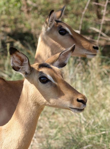 Impala - Pilanesburg, South Africa