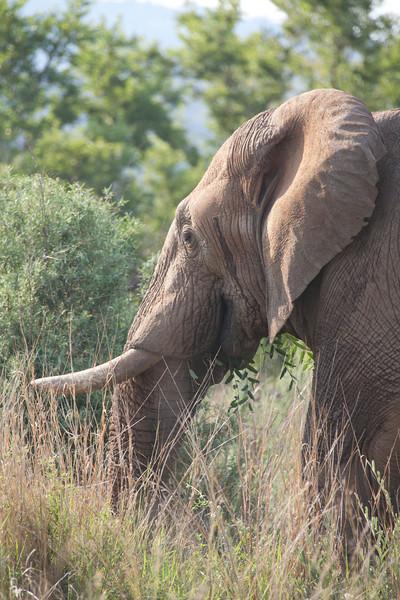Bull elephant --- Pilanesburg, South Africa