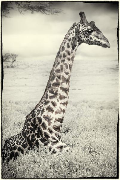 Giraffe siting - Crescent Island, lake Naivasha, Kenya