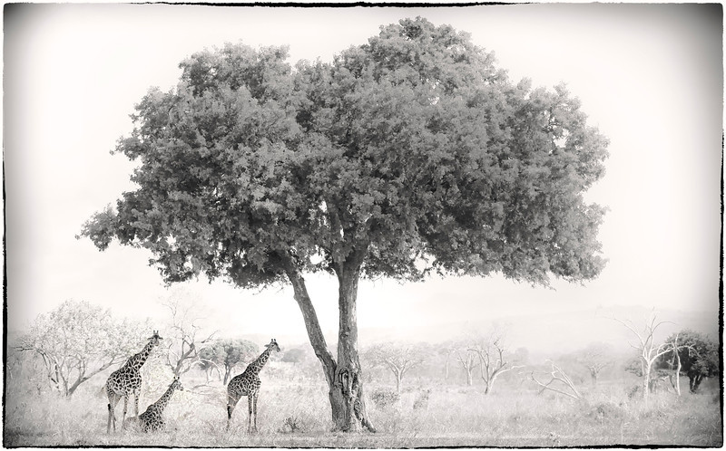Three giraffe's under a tree - Mikumi National Park, Tanzania