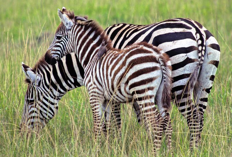 Zebra - Masai Mara, Kenya
