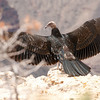 Just fledged California Condor<br /> North Rim, Grand Canyon National Park, Arizona<br /> 2009
