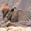 Just fledged California Condor