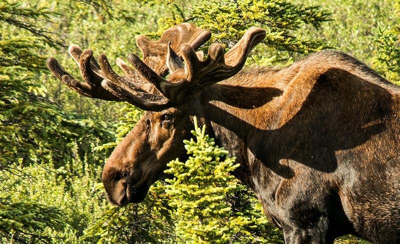Moose in Denali Park