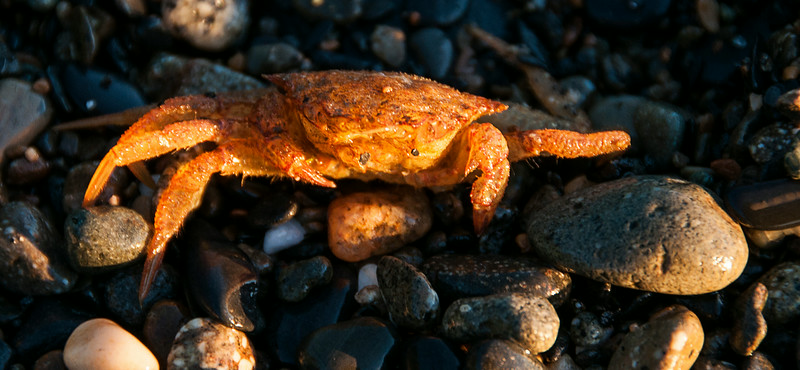 Day 4 - Frederick Sound & Stephen's Passage - Crab on beach at sunset