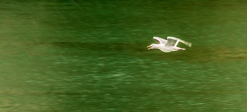 Glacier Bay - South Marble Island - Gull in the Rain