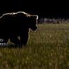 7741_Alaska_Bears_06132021-2-1