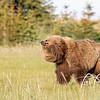 7507_Alaska_Bears_06132021-1