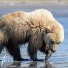 0853_Alaska_Bears_06132021-2-1