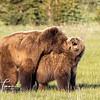 7440_Alaska_Bears_06132021-2-1