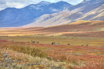 "Caribou near Base Camp on the Nigu River located in the Gates of the Arctic National Park and Preserve in the Brooks Range of Alaska.  Nigu translates to ""Rainbow.""  Seven days on the tundra with the migrating Caribou."
