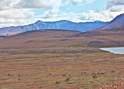 Migrating caribou on the Nigu River located in the Gates of the Arctic National Park and Preserve in the Brooks Range of Alaska.