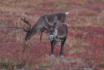 The Caribou migration in the Gates of the Arctic National Park and Preserve in the Brooks Range of Alaska