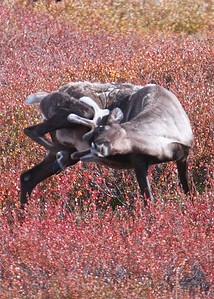 Knocking the fuzz off of new horns.  The Caribou migration in the Gates of the Arctic National Park and Preserve in the Brooks Range of Alaska