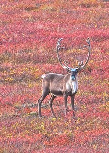 Large Caribou Buck. The Caribou migration in the Gates of the Arctic National Park and Preserve in the Brooks Range of Alaska