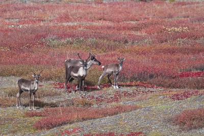 Females with calves in the Caribou migration in the Gates of the Arctic National Park and Preserve in the Brooks Range of Alaska