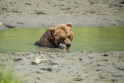 Brown Bear
