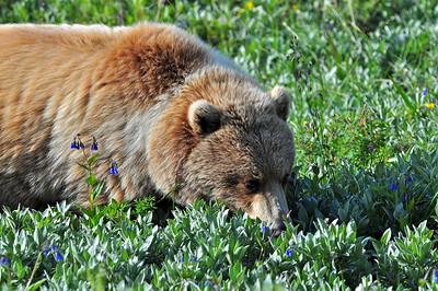 Grizzly Bear - Denali National Park - Alaska