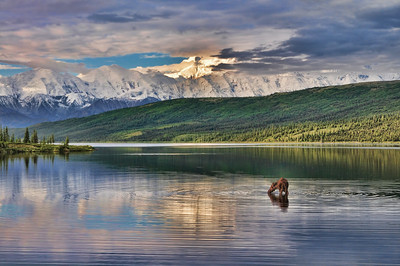 Moose in Wonder Lake - Denali National Park.  Mt McKinley in the background.