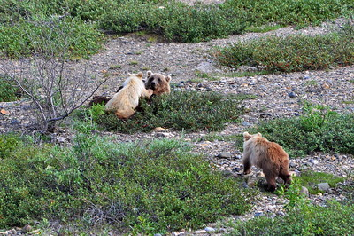 Mother Grizzly with Cubs - Denali National Park - Alaska