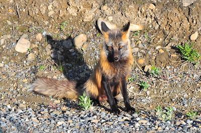 Red Fox - Denali National Park - Alaska