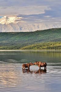 Mother and Calf - Wonder Lake - Denali National Park - Alaska