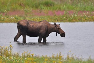 Cow Moose - Denali National Park - Alaska