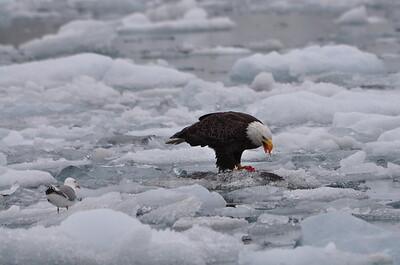 Bald Eagle eating a Salmon - Prince William Sound - Alaska