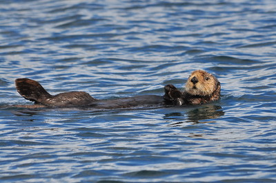 Sea Otter - Prince William Sound - Alaska