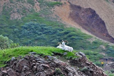 Dall Sheep - Denali National Park - Alaska