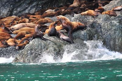 Sellar Sea Lions - Prince William Sound, Alaska