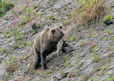 Alaskan Brown Bears, some with cubs, fishing in Lake Clark National Park, Alaska
