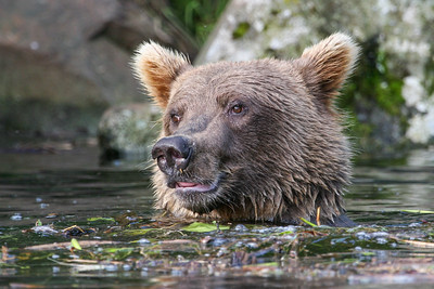 Grizzly IV