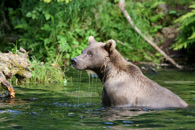 Grizzly II