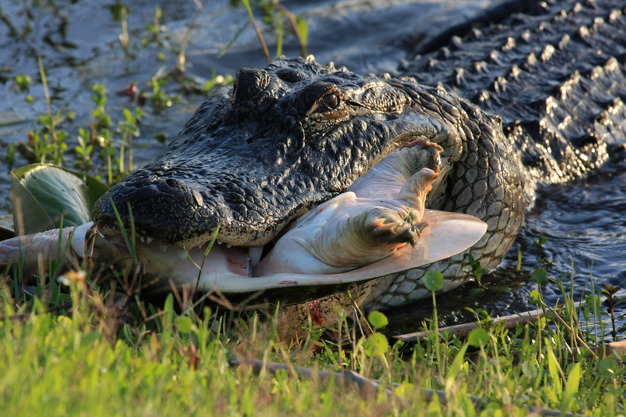 The alligator approaches the bank with his dinner.