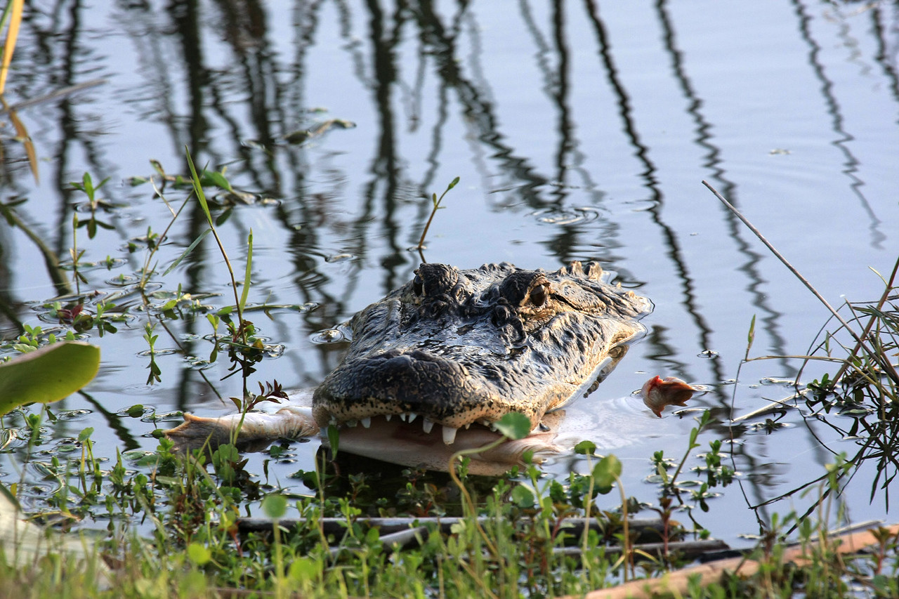 Alligator with upside-down turtle in his mouth heads for shore.