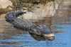 Alligater (w0010