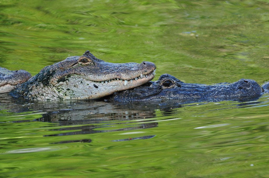 Alligator LOVE season! Gatorland, FL