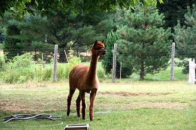 Little's Lane Alpacas