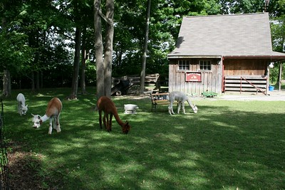 Little's Lane Alpacas